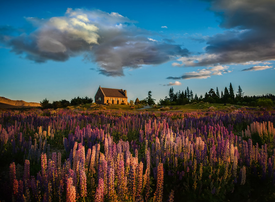 The Lupins at Lake Tekapo