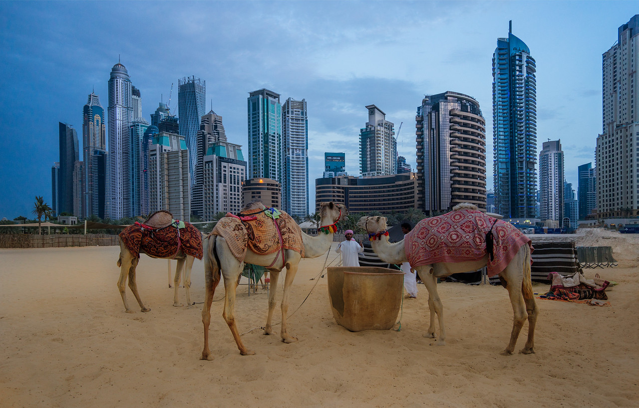 Camels in the New City