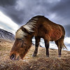 "<h2>An Icelandic Horse in the Wild</h2> <br/>If you want to see how I made this (and how you can too!), visit my <a href=""http://www.stuckincustoms.com/hdr-tutorial/"">HDR Tutorial</a>.  I hope it gives you some new tricks! I consider myself very lucky to have a network of great photographers around the world.  I met most of them through Flickr, where we are constantly commenting and giving feedback on one another's photos.  This has enabled me to meet up with great photographers wherever I travel, and they are great people to hang out with because they already know the prettiest places around where they live!<br/><br/>One of the people I was lucky to shoot with was Rebekka in Iceland.  We met at a coffee shop in Reykjavik and talked about where to go shoot.  We jumped in her car and drove a while until we reached a fjord.  Nearby were these horses running around like wild beasts.  They have no fear of humans, and we were able to go right up to them.  Their hair is very long, and I'm sure it evolved from the hyper-cold whipping winds around the edges of the sea.<br/><br/>I don't shoot a lot of animals, because I find it hard to improve upon what other great animal photographers have done in the past.  However, here is a tip for shooting animals.  It's kind of a lame trick, but it always works.  Use a wide-angle lens and get in close.  It always makes the head look really big and cute.  Humans love big-headed animals and it always makes them smile.  Why this is, I have no idea...  Note this trick also kinda works with babies.<br/><br/>Seriously, thanks to <a href=""http://www.flickr.com/photos/rebba/"">Rebekka</a> for a great day tooling around the fjords of Iceland.<br/><br/>Oh, and yes.... I have pictures of  <a href=""http://www.flickr.com/photos/rebba/171966912/in/set-72157594277473390/"">Rebekka coming up at some point wearing her green-thing</a> ...  nothing too salacious for public consumption, I assure you... but in more of a ""photographer in her milieu"" milieu.<br/><br/>- Trey Ratcliff<br/><br/><a href=""http://www.stuckincustoms.com/2007/02/19/the-place-where-rebekkas-horses-run-free/"" rel=""nofollow"">Click here to read the rest of this post at the Stuck in Customs blog.</a>"