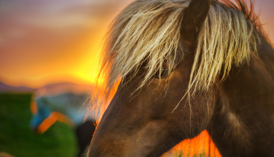Flaxen Horse at Sunrise in Iceland