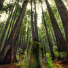 """<h2>The Giants in the Muir Woods</h2> <br/>When I was in California recently, I left Leo Laporte's cottage to take some photos of the Muir Woods.  If you have never been here, it's a must! <br/><br/>Did you know this is where they filmed that speeder scene from Return of the Jedi?  Very cool.  I did not see any Ewoks in the forest, nor did they try to trip me by making me roll my robo-angle on strategically-placed logs.  Those Ewoks... so small, crafty, and flammable.<br/><br/>- Trey Ratcliff<br/><br/><a href=""""http://www.stuckincustoms.com/2010/02/24/the-giants-in-the-muir-woods/"""" rel=""""nofollow"""">Click here to read the rest of this post at the Stuck in Customs blog.</a>"""