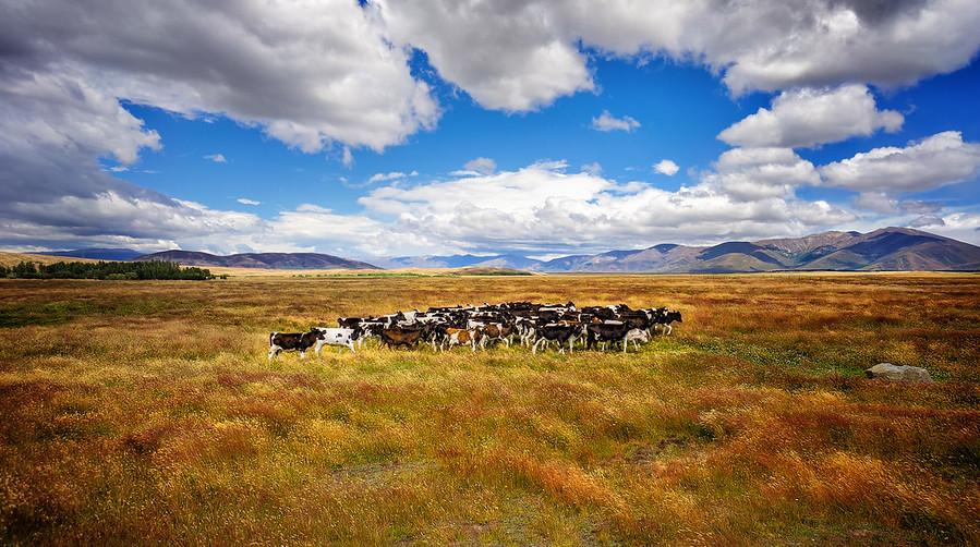 Cow Vortex