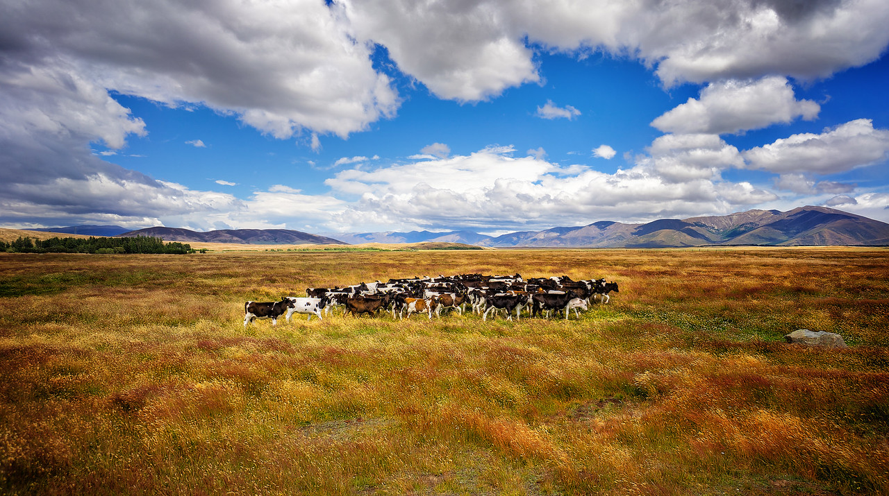 A Flock of Cows