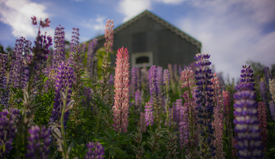Lupins New Zealand