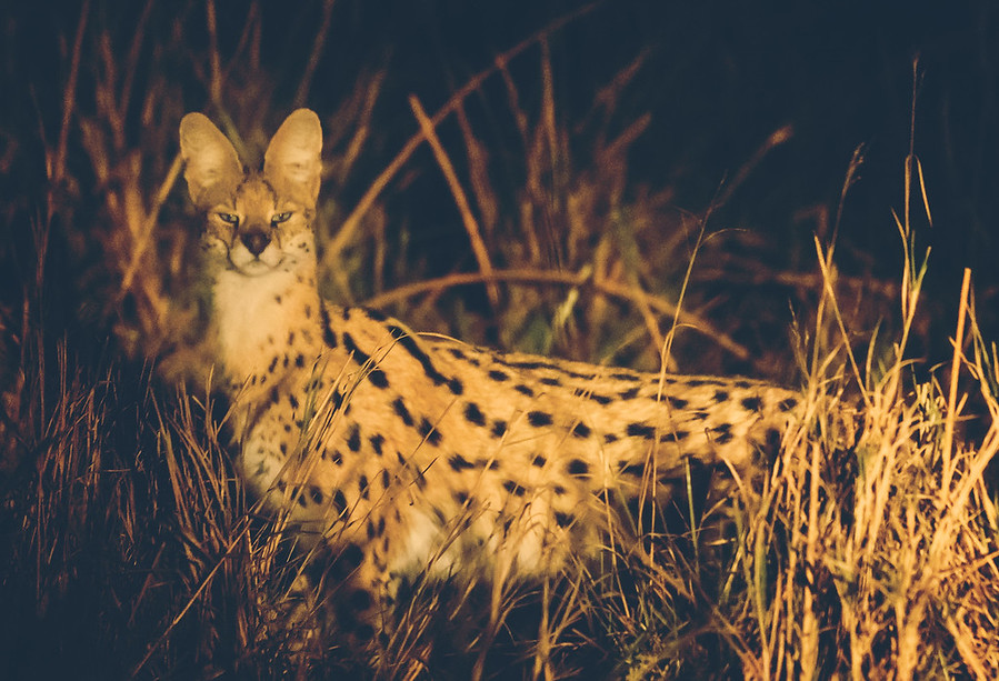 The Rare Wild Serval Hunting at Night