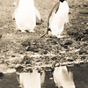 Cute Adelie Penguins