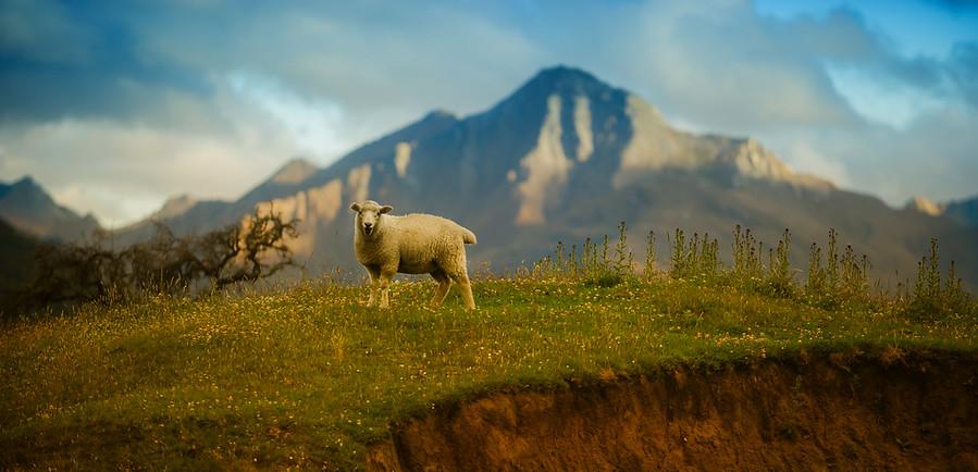 Sheep Says Baaaaa